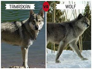 Wolf vs Wolfdog/Dogs that look like wolves identification ...