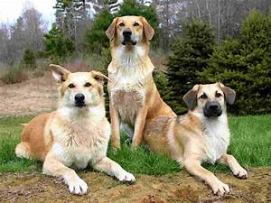 Three lovely chinook dogs photo and wallpaper. Beautiful ...