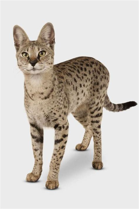Facts About Savannah Cats  Houston Chronicle