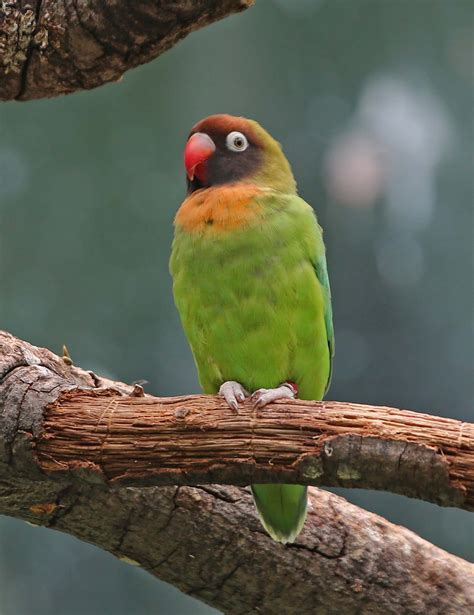 black cheeked lovebird facts housing pet care pictures