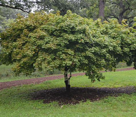 acer platanoides globosum ufei selectree a tree selection guide