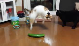 cat cucumber apparently all cats are scared of cucumbers