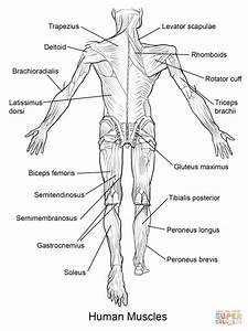 anatomy coloring pages muscles human anatomy diagram With diagram of a body