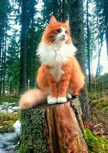 Orange And White Tabby Cat Fluffy Orange Tabby Cat Fluffy ...
