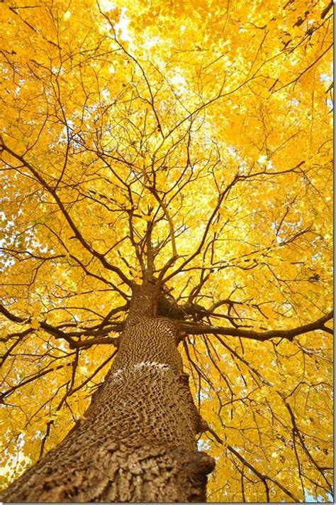 tree with yellow leaves in fall 1000 images about art lessons tree perspective on pinterest trees aspen trees and perspective
