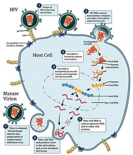Diagrammatic Representation Of Hiv Life Cycle