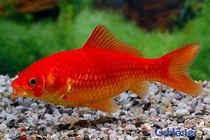 Goldfisch Haltung Im Teich : goldfisch 8 11 cm g h ner zierfischgro handel ~ A.2002-acura-tl-radio.info Haus und Dekorationen