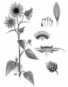 Diagram  Parts Of A Sunflower Diagram Full Version Hd