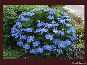 Hydrangea Macrophylla Winterhart : 18 best images about happening hydrangeas on pinterest ~ Michelbontemps.com Haus und Dekorationen