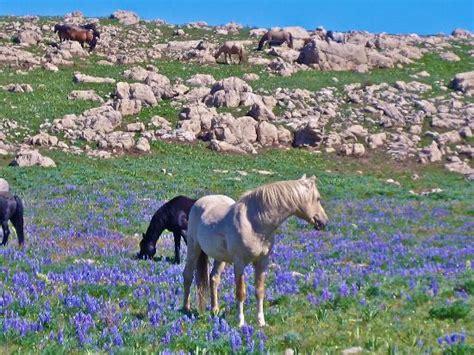 wild pryor montana horse mountain range palomino famous tripadvisor