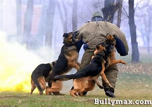 Police dog training pitbull police dogs for Attack dog training