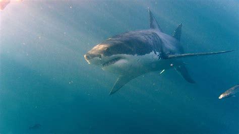 aquarium requin blanc 28 images apr 232 s quelques jours dans un aquarium un grand requin