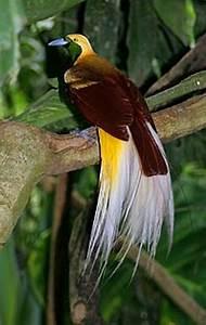 Flying Animal: Lesser bird of paradise