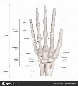 Infographic Diagram M U00e4nsklig Hand Bone Anatomi System