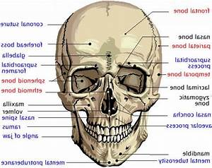 Human Skull Labeled Diagram - Anatomy Human