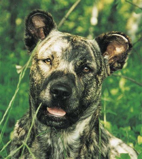 portuguese dog breeds images  pinterest dog