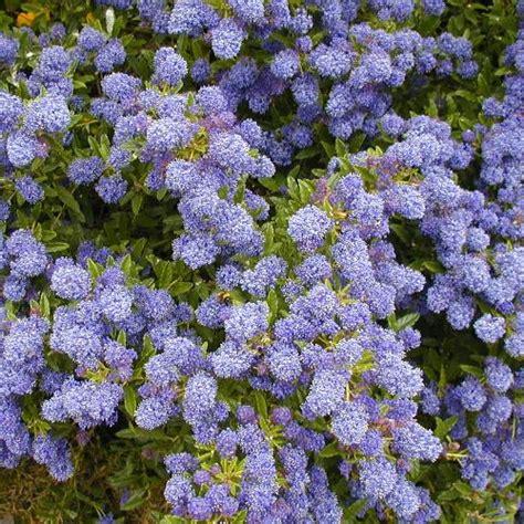 ceanothus blue mound evergreen shrub hardy garden