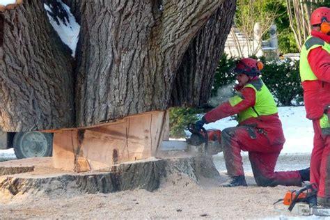 massive tree felling technique chainsaw corner tree