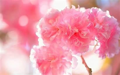 Cherry Blossoms Double Moraine Lake Winter Desktop