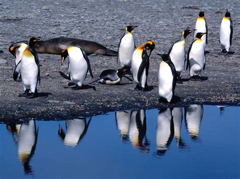 wallpapers king penguins wallpapers