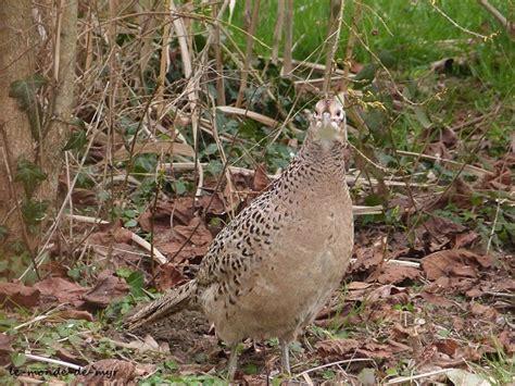 cuisiner une poule faisane passage d 39 une poule faisane dans mon jardin