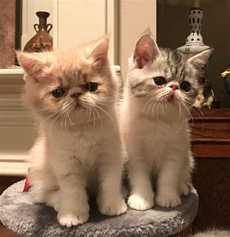 Exotic Shorthair Cats For Sale | Fort Worth, TX #282691