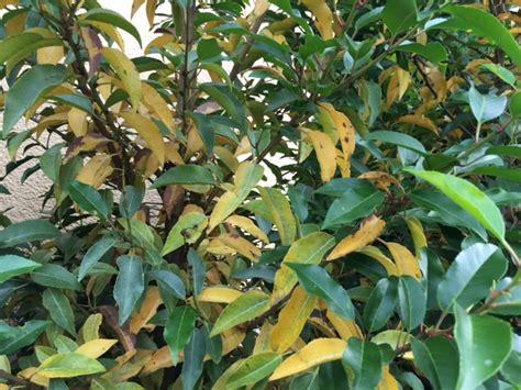 Kirschlorbeer Krankheiten Gelbe Blätter by Portugiesischer Kirschlorbeer Bekommt Gelbe Bl 228 Tter Was