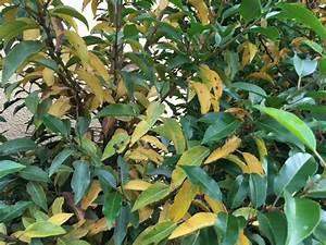Rhododendron Braune Blätter : portugiesischer kirschlorbeer bekommt gelbe bl tter was ~ Lizthompson.info Haus und Dekorationen