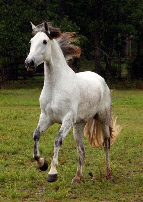 andalusian horse horses breed breeds venom spanish grey deviantart venomxbaby dressage stallion