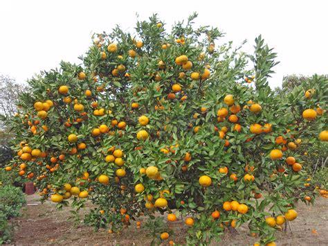 pohon jeruk file citrus unshiu 20101127 d jpg wikimedia commons
