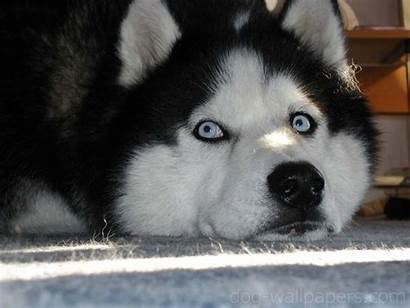 Husky Puppy Puppies Wallpapers Cool Creepypasta Dogs
