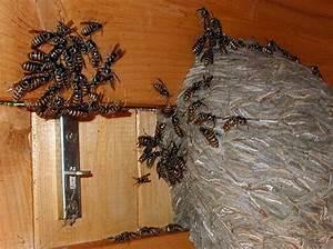 Wespen Im Haus : lebensweise ~ Lizthompson.info Haus und Dekorationen