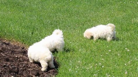 Bichon Frise Puppies For Sale You