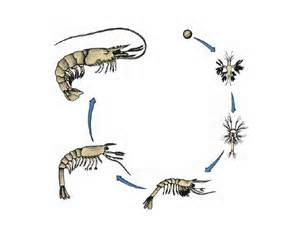 Life Cycle of a Crayfish