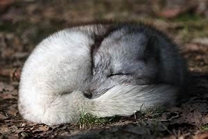 Animal En G : arctic foxes facts and adaptations vulpes lagopus ~ Melissatoandfro.com Idées de Décoration