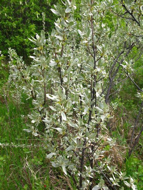 silverberry elaeagnus commutata gardenorg