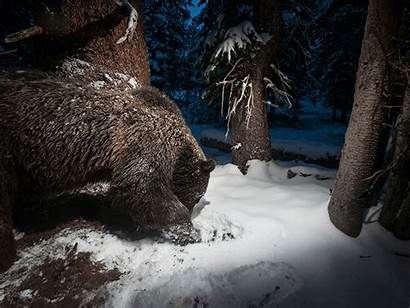 Camera Trap Traps Wildlife Snow Bears Photographer