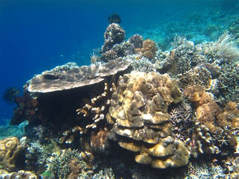 corals soft hard sulawesi north coral