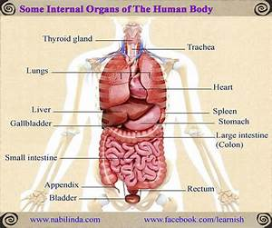 Some Internal Organs of The Human Body - English ...