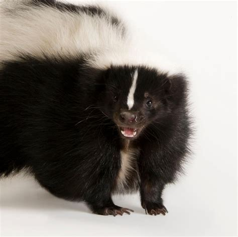 striped skunk national geographic
