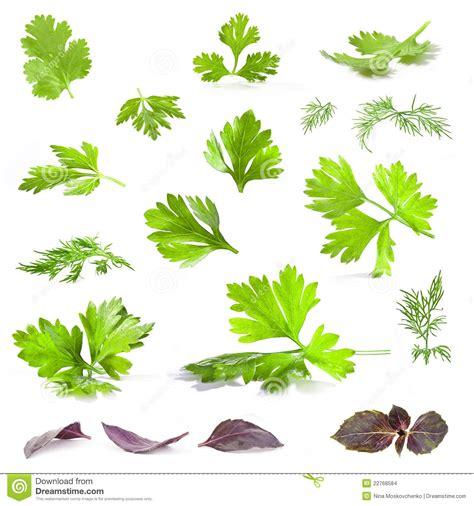cuisine andre lames de coriandre de persil d 39 aneth et de basilic images stock image 22768584