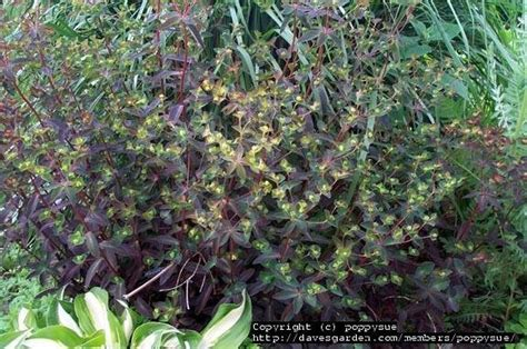 purple spurge plantfiles pictures euphorbia species purple spurge euphorbia dulcis by poppysue