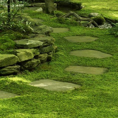 how to grow sheet moss lawn repair help doityourself com community forums