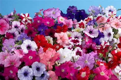 pictures of petunia plantas e flores petunia
