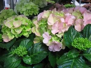 Hortensie Im Topf : hortensie im topf rosa midi versand f r blumen pflanzen floristik ~ A.2002-acura-tl-radio.info Haus und Dekorationen