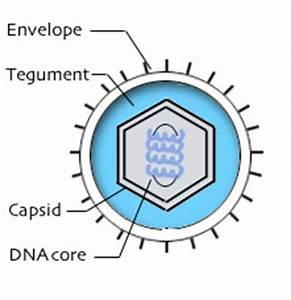 Bovine Herpesvirus 1