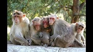 Monkey U0026 39 S At Elephanta Caves  Mumbai - India Hd 2014