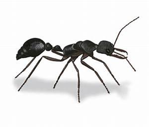 Large black ant striped body