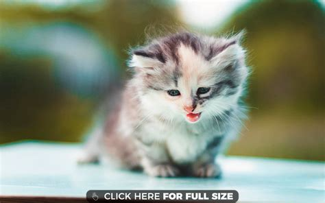 Kitten Background Kitten Wallpapers Photos And Desktop Backgrounds Up To 8k
