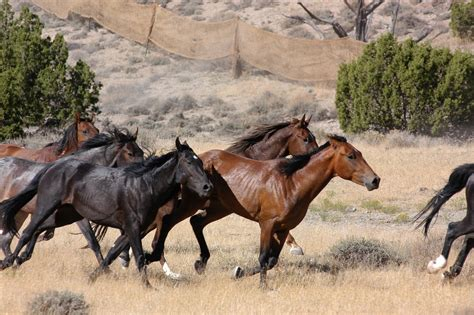 horses wild running wallpapers horse hd animals blm